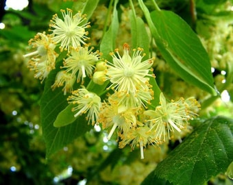 Dried Organic Linden Flowers