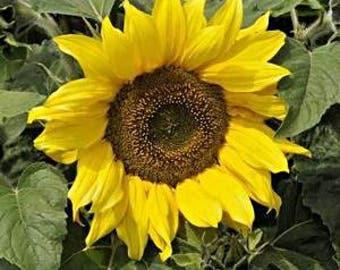 "ASUD)~IRISH EYES Sunflower~Seeds!!~~~18"" of Radiance!"
