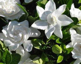 Summer Snow Gardenia® - Live Plant - Starter Plug (LG)