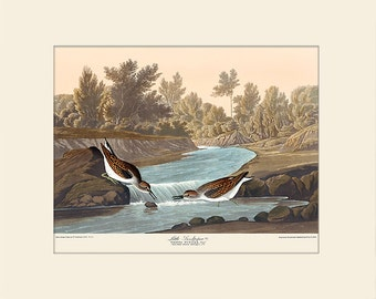 Audubon Bird Art Print, Little Piper, New Matted Art Print, Note Card, Wall Decor, Natural History, Vintage Bird Illustration, Wall Art