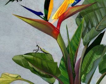 """16x19"""" Framed and Matted, Hummingbird of Paradise, Premium Giclee Print 16x19"""""""