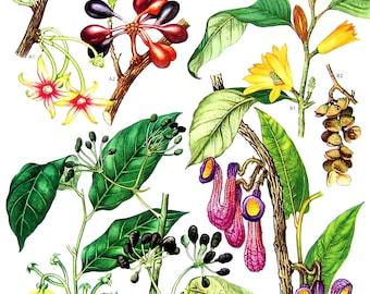 Ylang Ylang, Pisang Pisang, Jade Orchid Tree  - Botanical Print - Vintage Flower Print 1988 p111