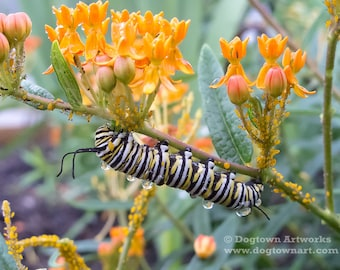 Caterpillar Raindrops, Original large photograph of monarch butterfly caterpillar with raindrops on butterfly milkweed plant