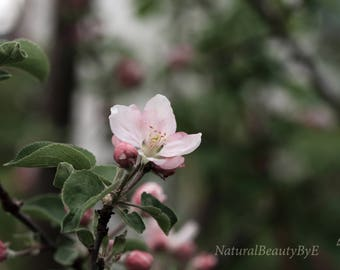 apple tree blossom print, blossoms on tree branch, macro photo, flower photography, nature, floral wall art, pink home decor, fine art