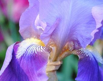 Carnivale iris photo