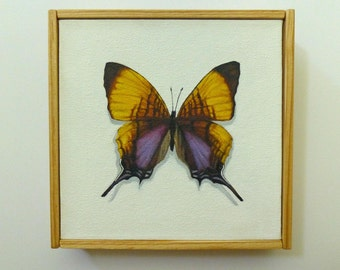 Marpesia Marcella Butterfly Original Painting 6x6
