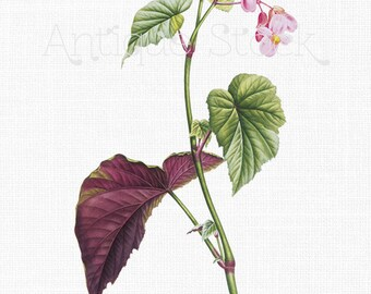 Flower Clipart 'Hardy Begonia' Botanical Illustration Digital Download Image for Wall Art Prints, Scrapbooking, Collages, DIY Crafts...