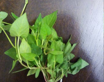 Hermit Crab Food Wild Micro Greens: Buckwheat all-natural pet food