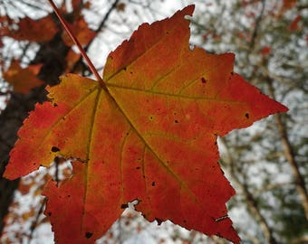 Beautiful Orange Maple Leaf.  Fall Foliage Still on the Tree.  Digital Download Photograph.