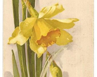 Catherine Klein-  Daffodil - Vintage Postcard - Series 1444