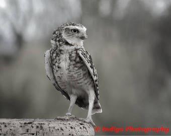 Burrowing Owl Digital Print