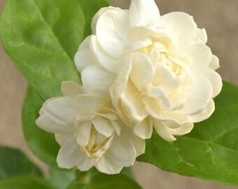 Jasminum Sambac Jasmine 'Grand Duke of Tuscany' ~ Live Starter Plant