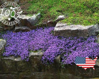 100 + CREEPING THYME GROUDCOVER seeds || Perennial Herb | Flower Seeds | Lavendar Falls