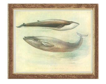 Sibbald's Rorqual, Blue Whale, Vintage Print, Thorburn Painting 1979/43, Natural History, Woodland, Frameable Art
