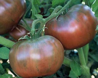 Cherokee Purple Tomato Heirloom Garden Seed Non-GMO 30+ Seeds Naturally Grown Open Pollinated Gardening