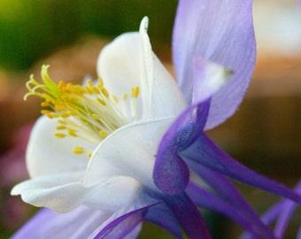 Purple & White Columbine : Reaching For The Light
