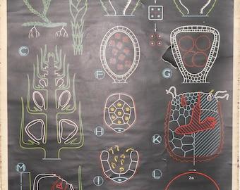 Vintage Belgian School Chart of Algae Cell