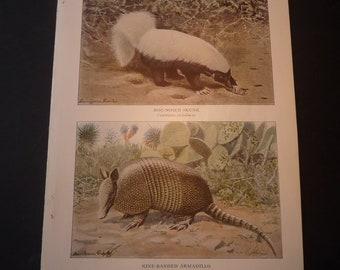 Skunk Armadillo - National Geographic - 1918 original Vintage Print - ready to frame animal lover