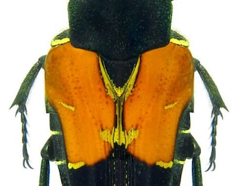 Supplies for your artworks - dried insects - :  Lot of 5 flowerbeetles Taeniodera nigrithorax 15/20mm, cetonidae UNMOUNTED A1/aa-