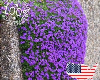 50 Purple Rockcress Seeds || Perennial Groundcover Aubrieta Seeds || Cascading Colorful Flower - Low Maintenance - Non gmo USA