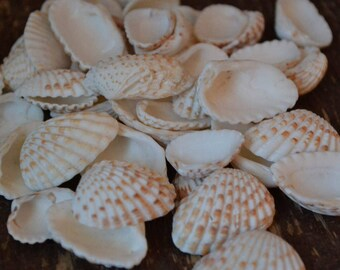 "Brown and White Cardita Shells, Florida Shells, Sanibel Island (3/4 - 1 1/4"") |20 Pieces"