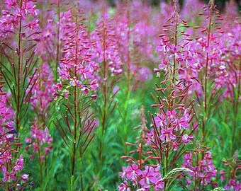 Fireweed Seeds, Herb Seeds, Epilobium Angustifolium, Medicinal Herb Plant, Plant for Bees, Honey
