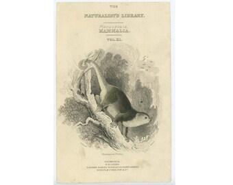1839 MARSUPIAL BEAR ENGRAVING - original antique print - animal print - phalangista ursina