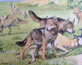 TIMBER WOLF and COYOTE dog Louis Agassiz Fuertes Vintage Mounted 1919 plate print Congratulations Christmas Thanksgiving Birthday gift