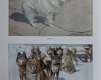 antique print showing  spitz and alaskan eskimo dogs 1927