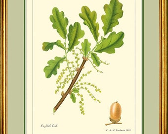ENGLISH OAK - Vintage Botanical print reproduction 368