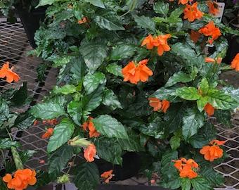 Crossandra infundibuliformis - Orange Marmalade - Beautiful and Bushy