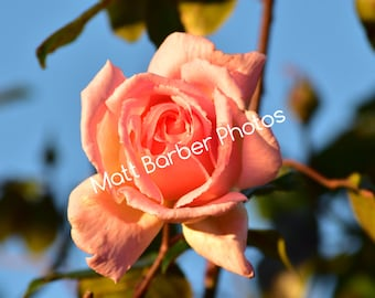 Wrap Around Pink Rose Canvas (Large)