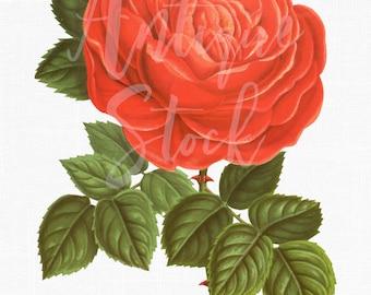 Botanical Art 'Hybrid Coral Rose' Flower Illustration Transparent Background for Invitations, Crafts, Decoupage, Prints, Decor...