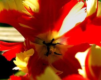 Parrot Tulip I- fine art photography- flower photography- tulip photography- botanical photography- wall art- home decor- office decor
