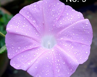 Various Japanese Morning Glory Seeds (4 inch flowers, Rare)