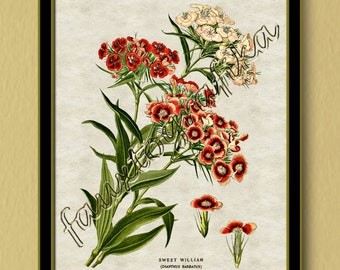 Sweet William Print, Sweet William, Flower Print, Floral Print, Botanical Print,  Reproduction Print, Vintage Print, Antique Print, Wall Art