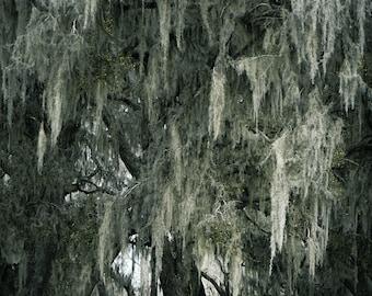 woods photography, landscape photography, signed photo, trees photography, spanish moss photography, texas photography, fine art photography
