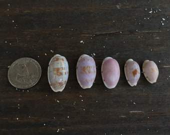 Rare Alison's Cowrie shells lot of 5
