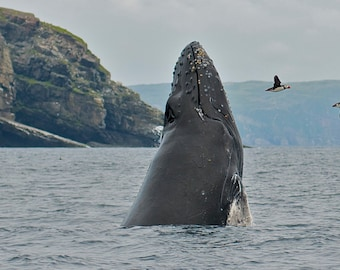 Breaching Humpback Whale and Puffins DSC2290