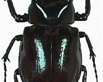 ONE Real Chalcosoma caucasus atlas Rhinoceros Beetle Wings Closed Unmounted Packaged Insect Wholesale