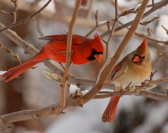 Cardinals in Winter, Fine Art Photo