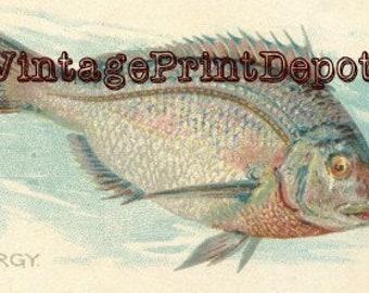 Porgy Wall Art, Porgy Digital Art, Porgy Home Decor, Porgy Art, Porgy Fish, American Fish, Fish Collection Art, Fish Collection