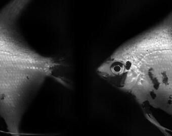 Angel Fish Divide