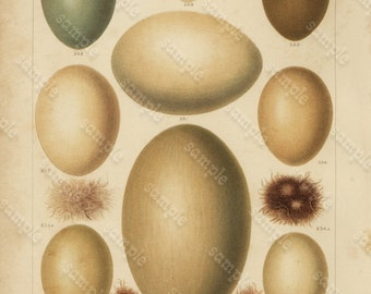 Lot of Two Print -Original Antique Natural History Bird Eggs -  Two Print Price of one