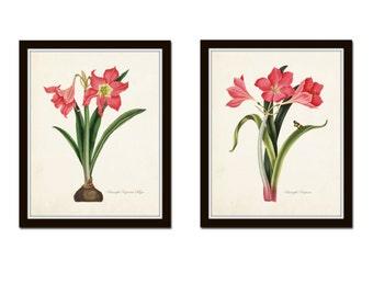 Amaryllis Botanical Print Set, Art Prints,Illustration, Antique Botanical, Vintage Botanical,Illustration, Giclee, Print Sets, Flower Prints