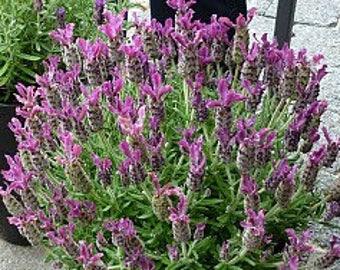 Lavandula st. 'Anouk Deep Rose' Spanish Lavender