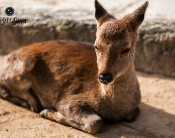 Baby Fawn Print, Deer Photo Print, Baby Deer Photo, Large Wall Art, Animal Art Canvas, Animal Photography, Deer Canvas Photo