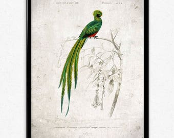 Quetzal Bird Vintage Print - Bird Poster - Bird Art - Bird Picture - Bird Illustration - Home Decor - Wall Art - Orbigny (VP1037)