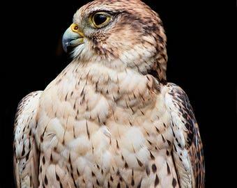 Hawk Art, Ferruginous Hawk, Hawk Print, Bird of Prey, Raptors, Rough Legged Hawk, Bird Lovers Gift, Bird Portrait