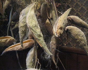 MILKWEED naturally DRiED Flower Bunches PODS